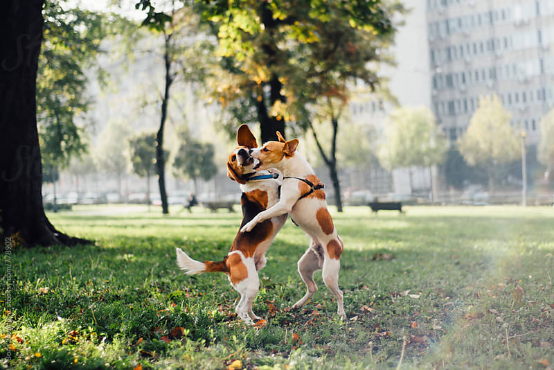 Two dogs playing in the park by Boris Jovanovic for Stocksy United