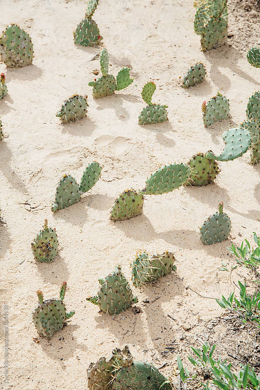 Cactus buried in sand by Curtis Kim for Stocksy United
