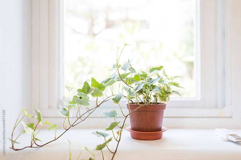 Home Green Vine Plant on a Pot on White Windowsill by Lawren Lu for Stocksy United