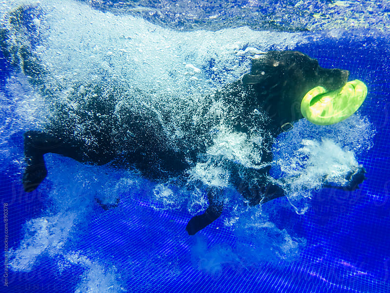 Underwater shot of a dog diving into a pool to retrieve a frisbee by Jen Grantham for Stocksy United