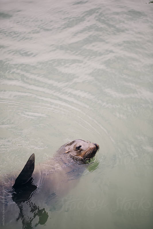 Sea lion swimming in the ocean by michela ravasio for Stocksy United