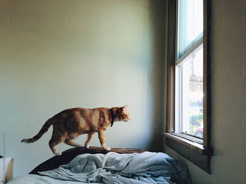 Cat Walking on Bed Looking Out Window by Kevin Russ for Stocksy United