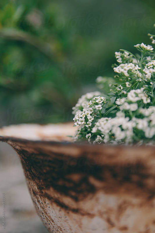 Pretty Small White Flowers  by HEX. for Stocksy United