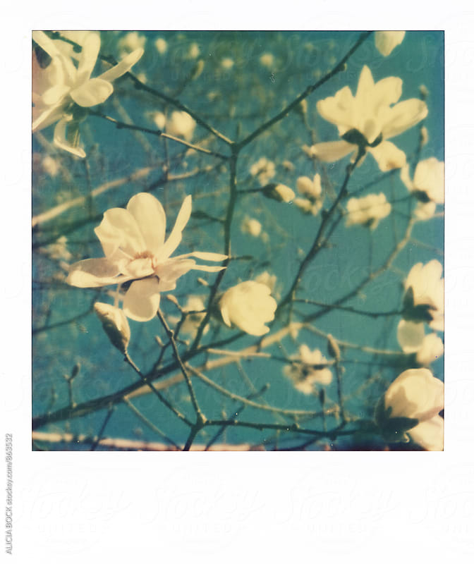 Polaroid Of Magnolia Tree Blossoms Against A Bright Blue Sky  by ALICIA BOCK for Stocksy United
