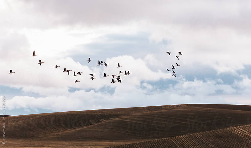 Flock of Birds Flying Over Rolling Hills by B. Harvey for Stocksy United