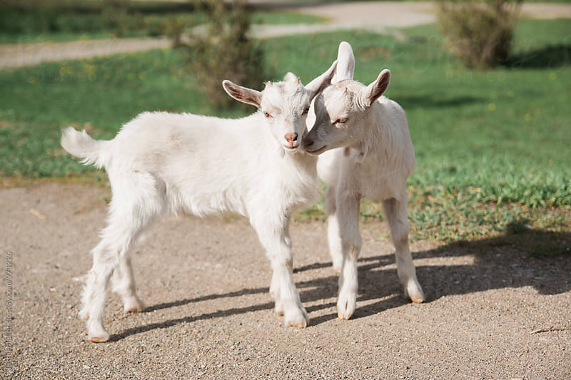 Pair of White Baby Goats by Justin Mullet for Stocksy United