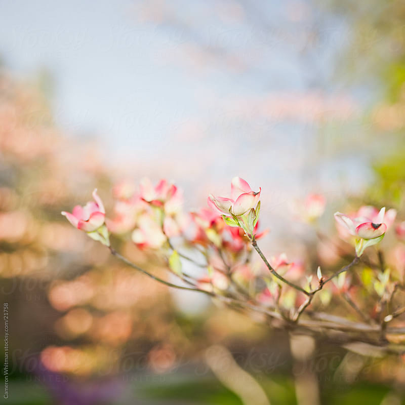 Spring Dogwood Blossoms by Cameron Whitman for Stocksy United