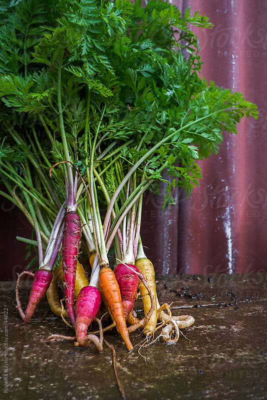 Organic Heirloom Carrots Just picked by Rowena Naylor for Stocksy United
