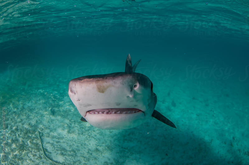 Tiger Shark in Shallow water in the tropics by Caine Delacy for Stocksy United