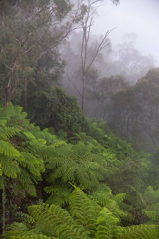 Tree ferns and eucalyptus in fog, Blue Mountains, Australia by Ben Ryan for Stocksy United