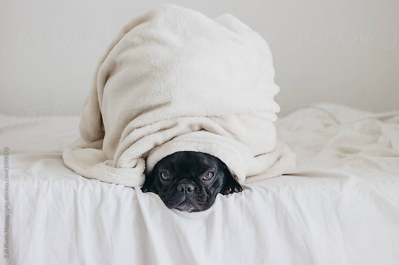 Cute french bulldog with blanket on the bed by Evil Pixels Photography for Stocksy United