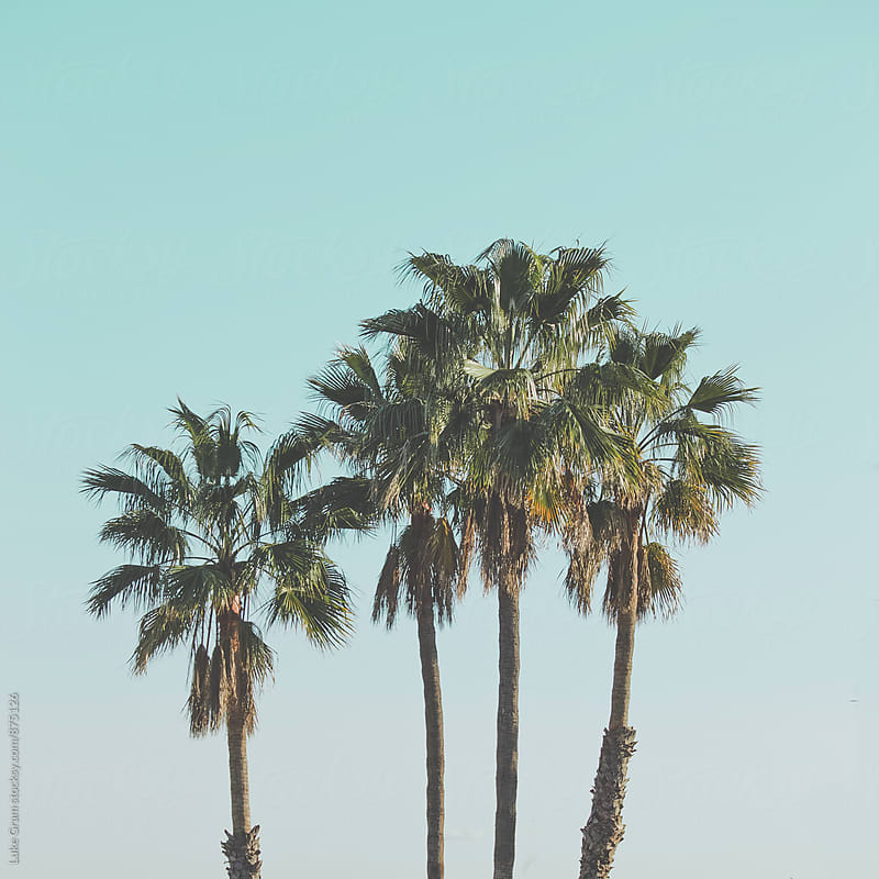 Palm Trees by Luke Gram for Stocksy United