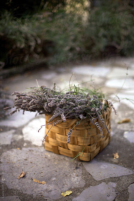 Harvesting dried lavender flowers and collecting them in basket  by Laura Stolfi for Stocksy United