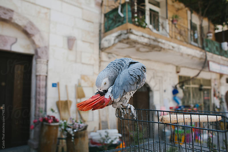 Pet Parrot on the Streets in Turkey by Caleb Thal for Stocksy United