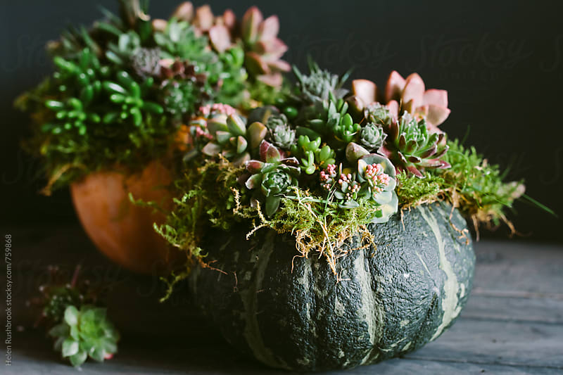 An autumnal display of pumpkins decorated with living succulents. by Helen Rushbrook for Stocksy United