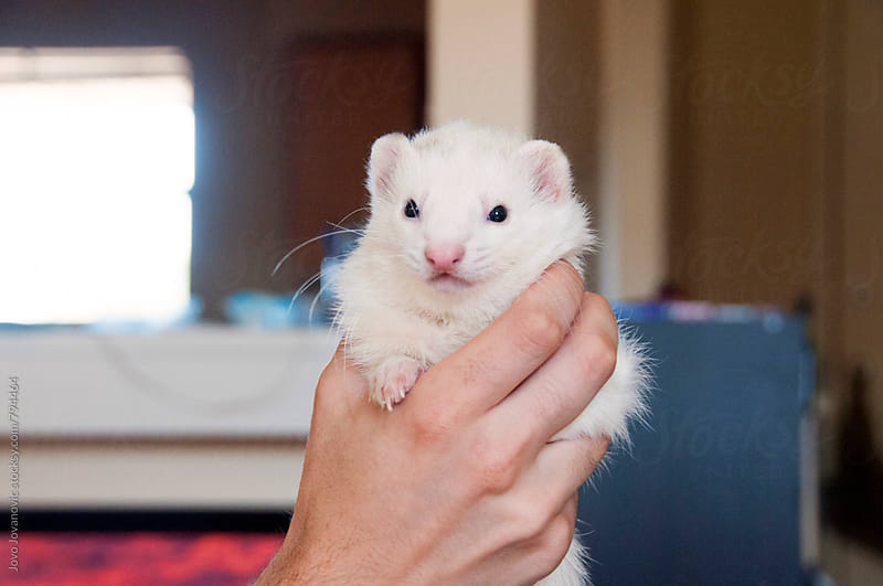 Fluffy white ferret in his owner's hands by Jovo Jovanovic for Stocksy United