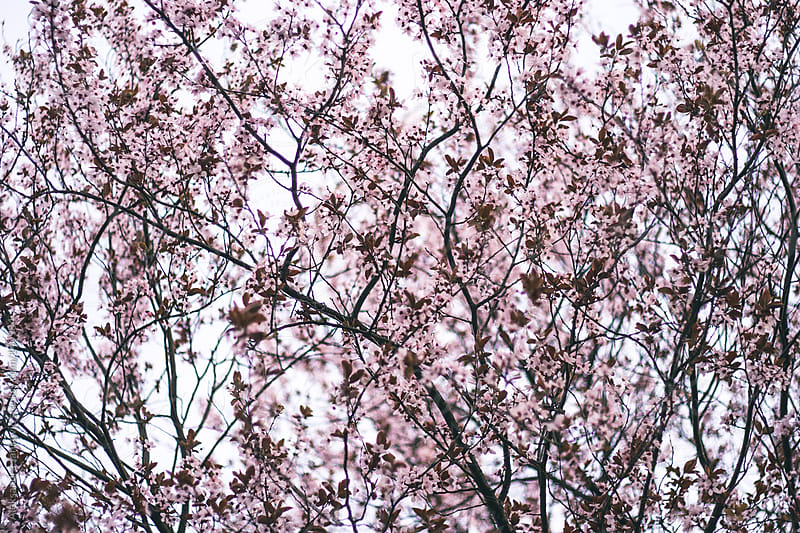 Blossomed Cherry Tree by Aleksandra Jankovic for Stocksy United