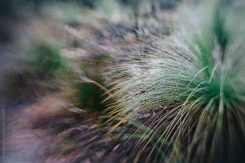 Australian native grass tree Xanthorrhoea with copyspace, shot with specialty lens by Jacqui Miller for Stocksy United