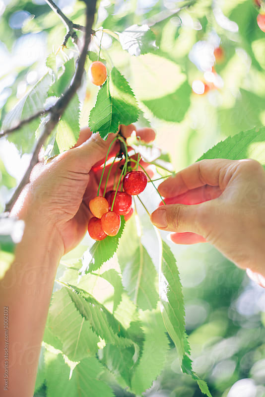 Woman picking cherries from tree by Pixel Stories for Stocksy United