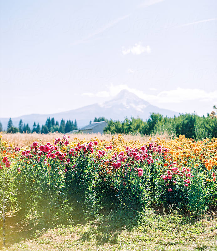 Flower field in Oregon by Daniel Kim Photography for Stocksy United