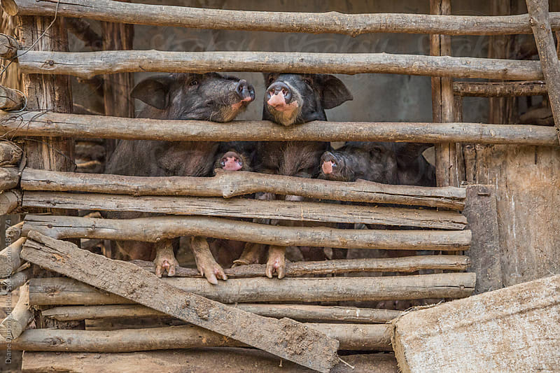 Pigs in a Pen by Diane Durongpisitkul for Stocksy United
