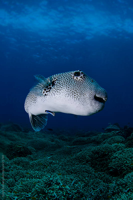 Giant Puffer fish swimming underwater over the coral reef  in Thailand by Søren Egeberg Photography for Stocksy United
