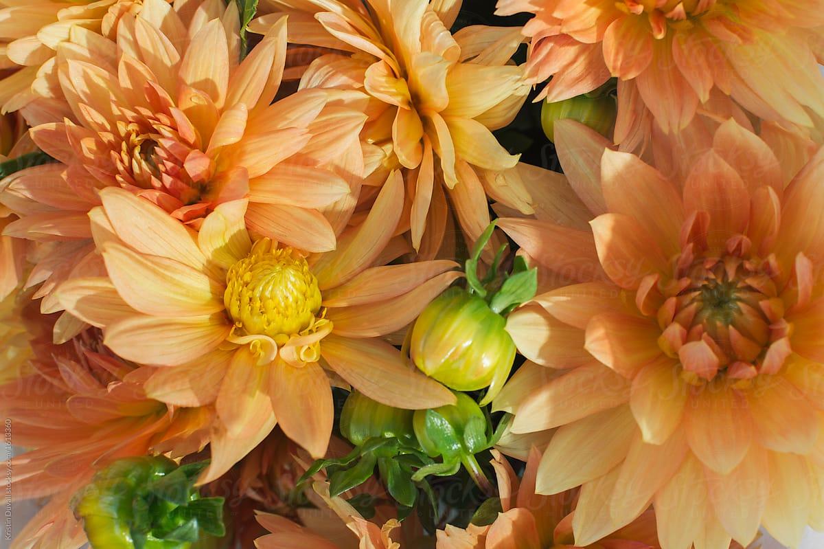 Orange Dahlia Flowers Stocksy United