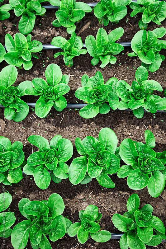 Rows of organic lettuce in a garden  by Carolyn Lagattuta for Stocksy United