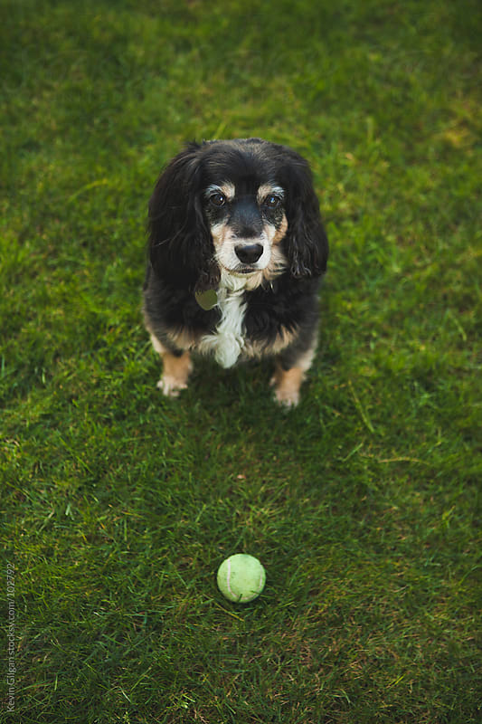 A Dog and His Ball by Kevin Gilgan for Stocksy United
