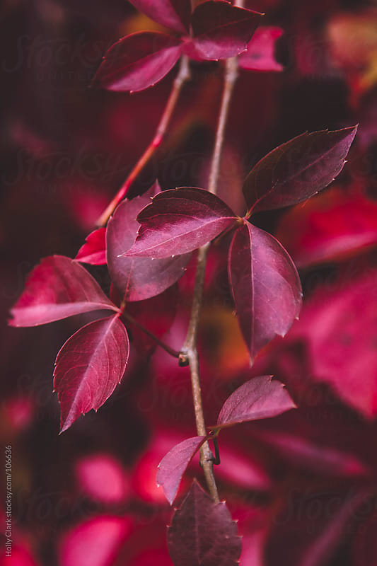 Red poison ivy leaves on a branch in fall. by Holly Clark for Stocksy United