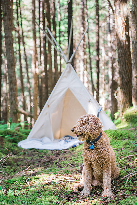 dog waits outside a tent in the forest, vertical by Tara Romasanta for Stocksy United