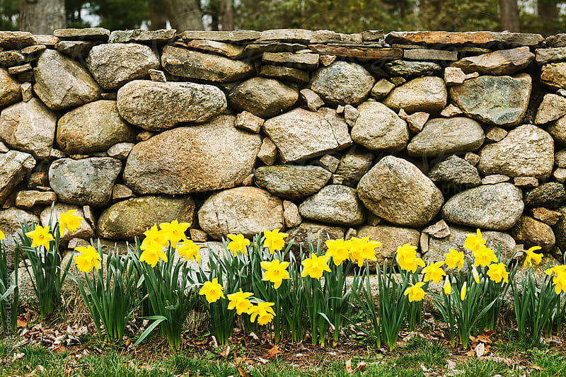 Daffodils on Stone Wall by Raymond Forbes LLC for Stocksy United