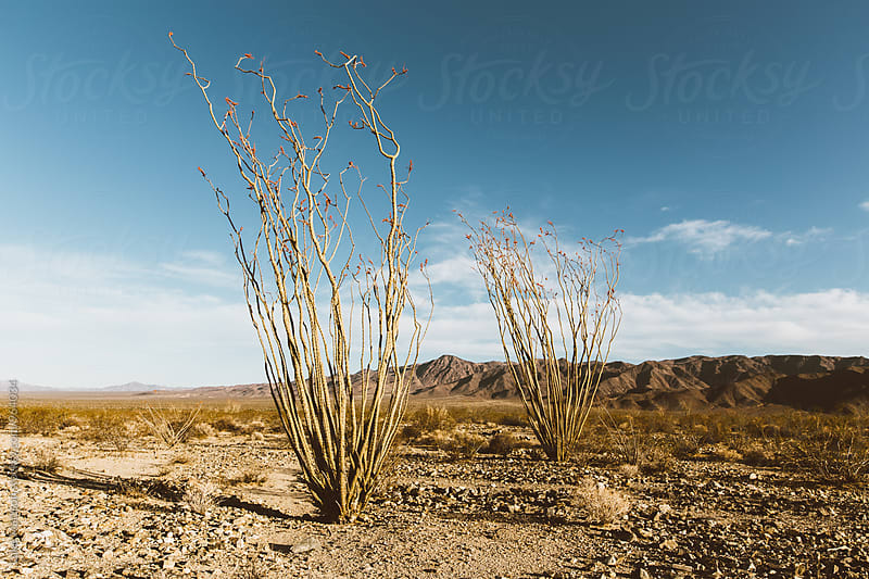 Two Ocotillo Plants Growing Side By Side In Joshua Tree National Park by Luke Mattson for Stocksy United