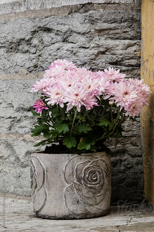 Pink chrysanthemum in a pot outdoors by Melanie Kintz for Stocksy United