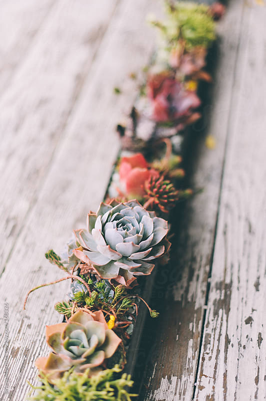 Line of Succulents in Planter by Briana Morrison for Stocksy United