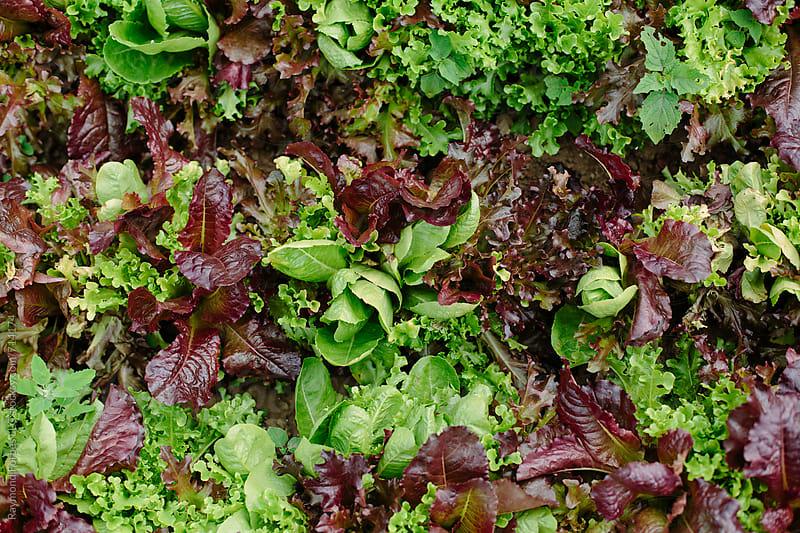 Organic Lettuce by Raymond Forbes LLC for Stocksy United