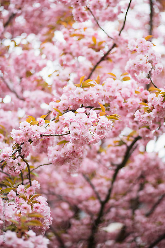 Pink Cherry Blossom by Jovana Rikalo for Stocksy United