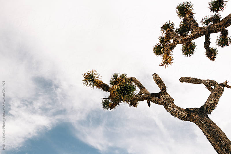 Looking up at a Joshua Tree by Isaiah & Taylor Photography for Stocksy United