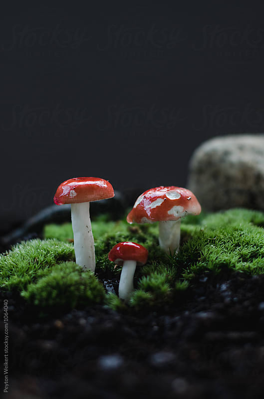 Amanita muscaria: three small red and white polka dot mushrooms sprouting from ground by Peyton Weikert for Stocksy United