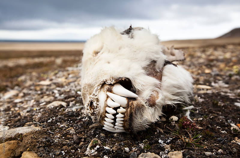 The skull of a dead polar bear by Jonatan Hedberg for Stocksy United