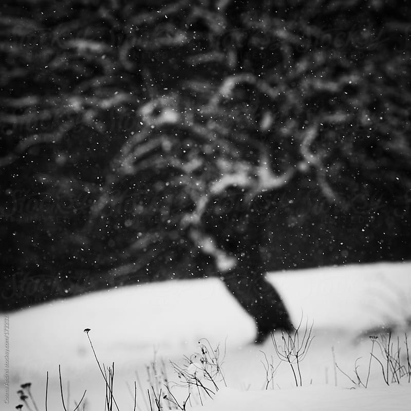 Snow flakes falling in winter near tree on meadow by Cosma Andrei for Stocksy United