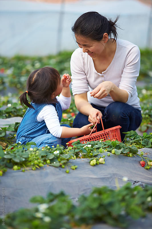 little asian girl picking strawberry outdoor with her mother by cuiyan Liu for Stocksy United