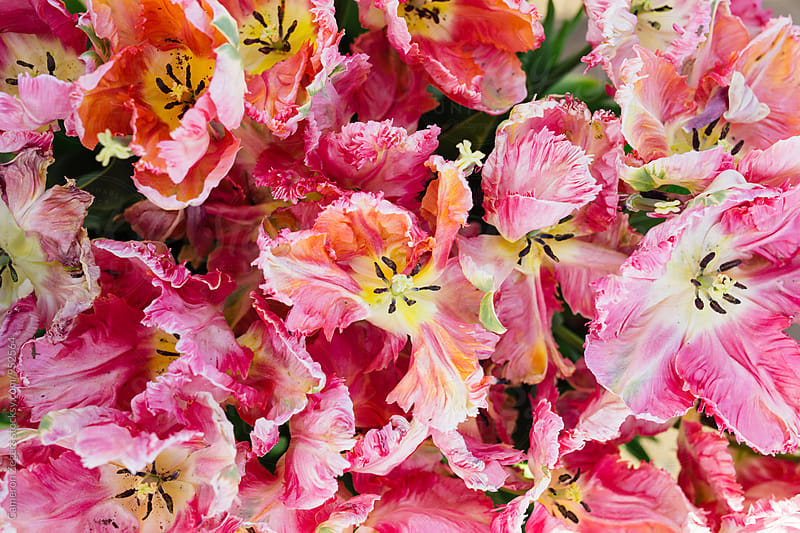 group of pink tulips in spring by Cameron Zegers for Stocksy United