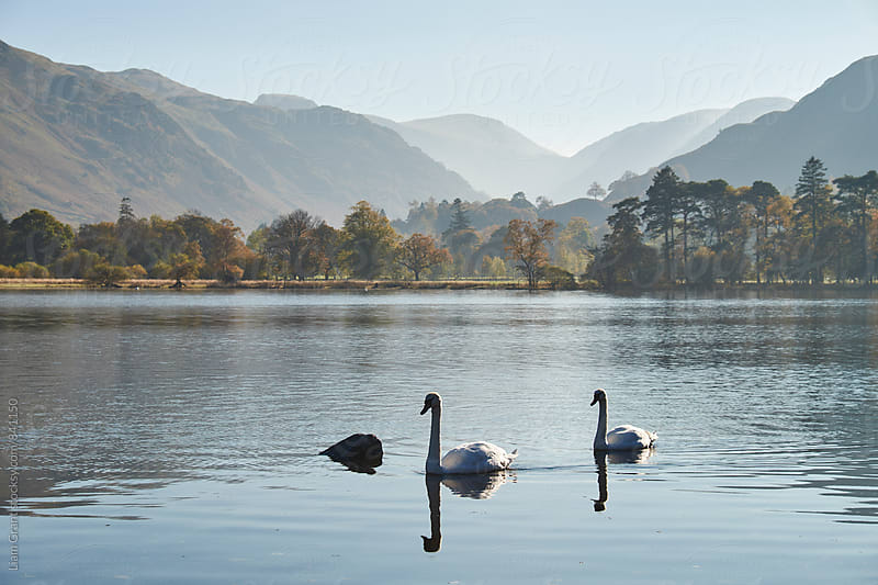 Swans and autumnal colour. Ullswater, Cumbria, UK. by Liam Grant for Stocksy United
