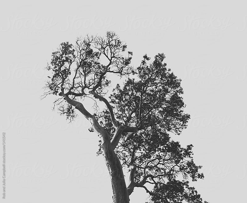Silhouette of arbutus tree on white sky by Rob and Julia Campbell for Stocksy United