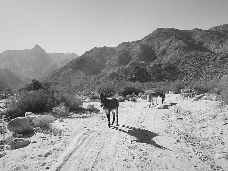 Burros on the Dirt Road by Kevin Russ for Stocksy United