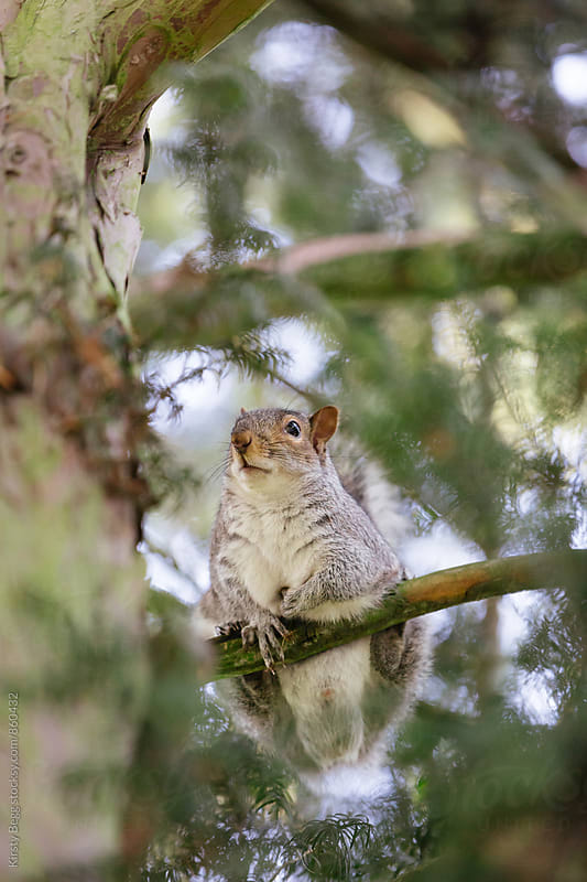 Vertical shot of grey squirrel in tree by Kirsty Begg for Stocksy United