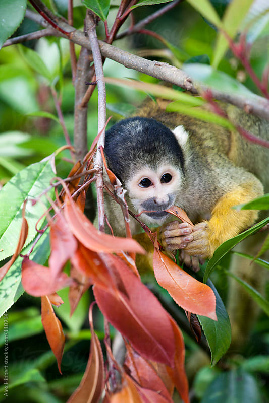 Squirrel Monkey by Alex Hibbert for Stocksy United