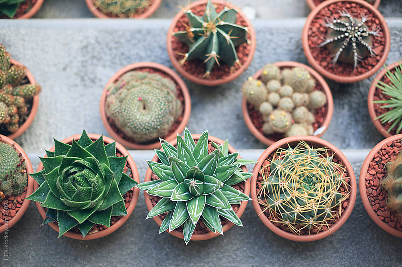 Succulent plants by HEX. for Stocksy United