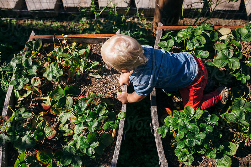 A Toddler Climbs across beds of strawberries by Amanda Voelker for Stocksy United
